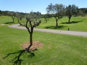 olivos en son muntaner